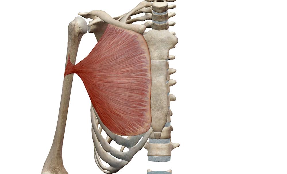 大胸筋解剖図